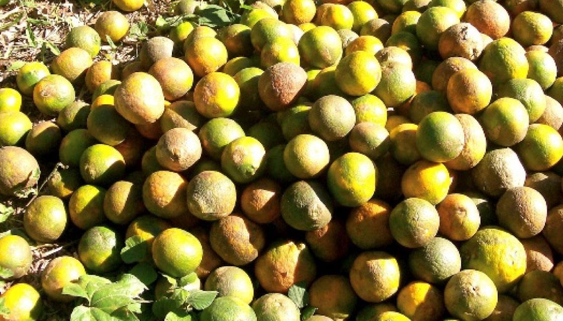 種子がたくさん詰まった特殊な品種のグレープフルーツ